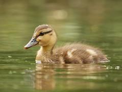 Duckling (PhotoLoonie) Tags: mallard duckling duck waterbird nature wildlife