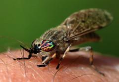Witness me, bloodbag! (PJ Swan) Tags: horsefly cleg biting tabanidae hematopota pluvialis