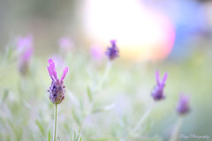 Lavender... (Maria Godfrida) Tags: crazytuesday backlight lavender closeup macro purple light bokeh nature plants flowers flora