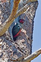 IMG_3930 Lewis' Woodpecker at Nest Hole (lois manowitz) Tags: birdsarizona woodpeckers nestlings