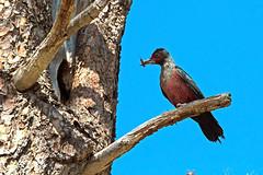 IMG_3926 Lewis' Woodpecker at Nest Hole (lois manowitz) Tags: birdsarizona woodpeckers nestlings