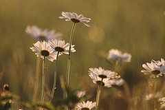 Soft light with flowers (Xtraphoto) Tags: morgenlicht morninglight bokeh light blumen flowers margeriten