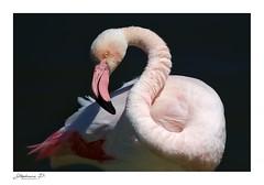 Flamant Rose en Camargue (stephane_p) Tags: pentax provence bird darktable flamantrose flamingo nature oiseau oiseaux piafs wildlife camargue pentaxart