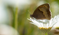 meadow brown butterfly-1 (ianrobertcole1971) Tags: invertebrates insects macro micro nikon