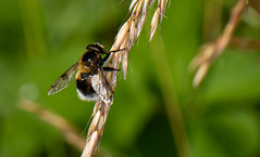 bee hoverfly-1 (ianrobertcole1971) Tags: invertebrates insects macro micro nikon