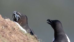 Razor bill with sand eels (ste_roughley) Tags: wildlife seabirds rspb bemptoncliffs birds razorbill yorkshire canon