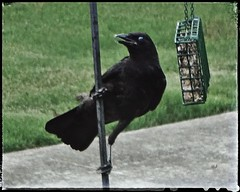 Local Crow Poses for a Portrait on one of our Suet Feeders   Marietta, Georgia (steveartist) Tags: birds crows largebirds birdfeeders sonydscwx220 phototoaster snapseed stevefrenkelphoto grass driveway bokeh suetfeeders feederpole