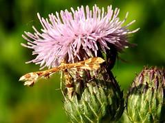 Grape Plume Moth, Geina periscelidactylus (4) (Herman Giethoorn) Tags: plumemoth moth insect