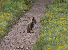 Coyote Pup With Mange (fethers1) Tags: rockymountainarsenalnwr rmanwr rmanwrwildlife coloradowildlife coyote