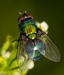 SUM_8697 (ianrobertcole1971) Tags: invertebrates insects macro micro nikon