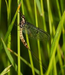 mayfly-1-2 (ianrobertcole1971) Tags: macro nikon insects micro invertebrates