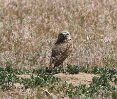 Burrowing Owl (fethers1) Tags: rockymountainarsenalnwr rmanwr rmanwrwildlife coloradowildlife bird owl burrowingowl