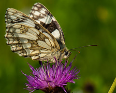 Marbled White Butterfly-1 (ianrobertcole1971) Tags: invertebrates insects macro micro nikon