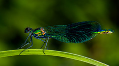 banded demoiselle-1 (ianrobertcole1971) Tags: invertebrates insects macro micro nikon
