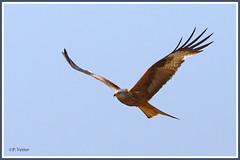 Milan royal 190704-04-P (paul.vetter) Tags: oiseau ornithologie ornithology faune animal bird milanroyal milvusmilvus redkite rapace milanoreal milhafrereal rotmilan
