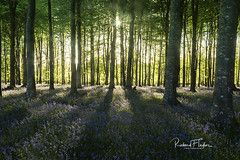 bluebells and shadows (taylorri40) Tags: bluebells beech beechtrees shadows green woodland spring starburst blue trees nikon d810