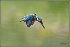 Martin-pêcheur vol 190703-02-P (paul.vetter) Tags: oiseau ornithologie ornithology faune animal bird martinpêcheur alcedoatthis eisvogel kingfisher