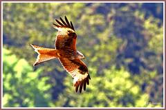 Milan royal 190704-01-P (paul.vetter) Tags: oiseau ornithologie ornithology faune animal bird milanroyal milvusmilvus redkite rapace milanoreal milhafrereal rotmilan