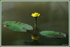 Nénufar 190704-01-P (paul.vetter) Tags: fleur nénufar