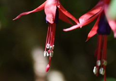 DSC_5046 Fuchsia (PeaTJay) Tags: nikond750 sigma reading lowerearley berkshire macro micro closeups gardens outdoors nature flora fauna plants flowers fuchsia