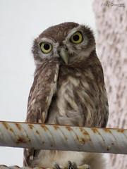 Little Owl. (Vitaly Giragosov) Tags: littleowl bird crimea sevastopol russia athenenoctua домовыйсыч птицы россия севастополь крым