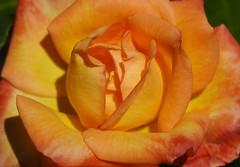 DSC_5029 (PeaTJay) Tags: nikond750 sigma reading lowerearley berkshire macro micro closeups gardens outdoors nature flora fauna plants flowers rose roses rosebuds