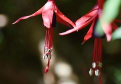 DSC_5040 Fuchsia (PeaTJay) Tags: nikond750 sigma reading lowerearley berkshire macro micro closeups gardens outdoors nature flora fauna plants flowers fuchsia