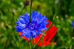 Blue, Red And Green (Alfred Grupstra) Tags: nature flower summer plant petal closeup purple flowerhead outdoors meadow beautyinnature greencolor botany blue blossom multicolored springtime formalgarden flowerbed macro