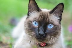Eyes (ruifo) Tags: nikon d850 sigma 105mm f28 ex hsm macro 11 gato cat chau eye eyes olho olhos ojo ojos close up animal nature life vida