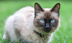 Cat (ruifo) Tags: nikon d850 sigma 105mm f28 ex hsm macro 11 gato cat chau eye eyes olho olhos ojo ojos close up animal nature life vida