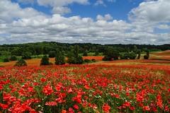 The Poppy Show (Macro light) Tags: worcestershire poppies bewdley blackstone poppyfields