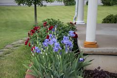 Iris and Peonies Blooming, June 5, 2019 (marylea) Tags: jun5 2019 iris peonies red spring gardens flowers flower garden
