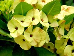 Euphorbia (M.P.N.texan) Tags: plant euphorbia succulent flower flowers flowering bloom blooms blooming yellow nursery texas riograndevalley