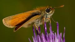 small skipper-1 (ianrobertcole1971) Tags: macro butterfly insect nikon small skipper micro invertebrate