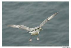 Fulmar boréal (muriel.schupbach) Tags: murielschupbach mscphotoblog4evercom oiseaudemer oiseauenvol oiseau décollage animal fulmarboréal