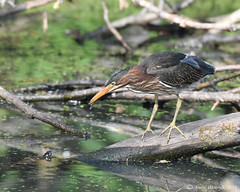 Heron beats turtle to a little snack (Geo Scouter) Tags: wildwoodlake harrisburg pennsylvania greenheron