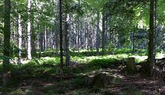 Schwarzwald (2) (Dystopos) Tags: rhein2019 jun2019 schwarzwald blackforest badenwürttemberg germany deutschland de forest