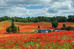 A farm surrounded (Macro light) Tags: blackstonefarmpoppies worcestershire bewdley poppies poppyfields