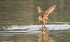 An exuberant godwit (Photosuze) Tags: godwits marbledgodwit shorebirds birds animals nature wildlife avians aves wings water