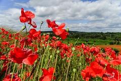 Blackstone Poppies (Macro light) Tags: worcestershire poppies blackstone poppyfields bewdley