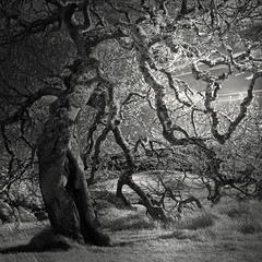 Oak (nlwirth) Tags: nlwirth yup oak tree infrared helenputnamregionalpark sonomacounty california ir blackandwhite light sun grass silence
