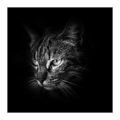 The Thinker (gwennscott) Tags: cat animals animal félin blackwhite monochrome