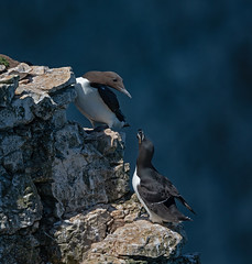 Guillemot+razorbill (Peter Warne-Epping Forest) Tags: guillemot razorbill seabirds seabird bempton rspb peterwarne