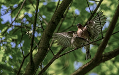 Fringilla coelebs (madziulka_a) Tags: fringillacoelebs polan wildlife nikon d850 200500mm bird love