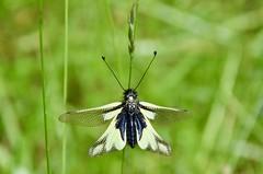 Ascalaphe soufré (Libelloides coccajus) (Annelise LE BIAN) Tags: coth ascalaphe insectes animaux coth5 alittlebeauty damn sunshine