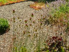 Kugel-Lauch Blütenköpfe (Jörg Paul Kaspari) Tags: hosingen garten sommer juli bulb zwiebelpflanze alliumsphaerocephalon allium sphaerocephalon kugellauch