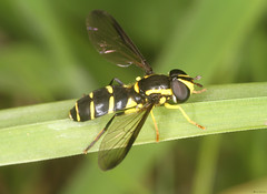 Xanthogramma dives (timz501) Tags: jersey hoverfly diptera syrphidae xanthogrammadives