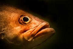 Large Mouth Bass 3-0 F LR 3-4-19 J043 (sunspotimages) Tags: animal animals fish bass largemouthbass nature wildlife zoo zoos nationalaquarium aquarium