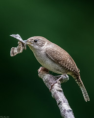 Breakfast delivery (Fred Roe) Tags: nikond7100 nikonafsnikkor200500mm156eed nature naturephotography national wildlife wildlifephotography animals birds birding birdwatching wren housewren troglodytesaedon colors outside flickr