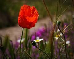 Red poppy (lauracastillo5) Tags: red poppy flowers flower garden field plant beautiful sunset spring